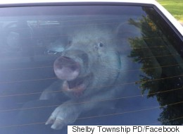 Pig Arrested, Defecates In Police Car And Looks Rather Happy About It