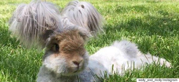 wally angora rabbit