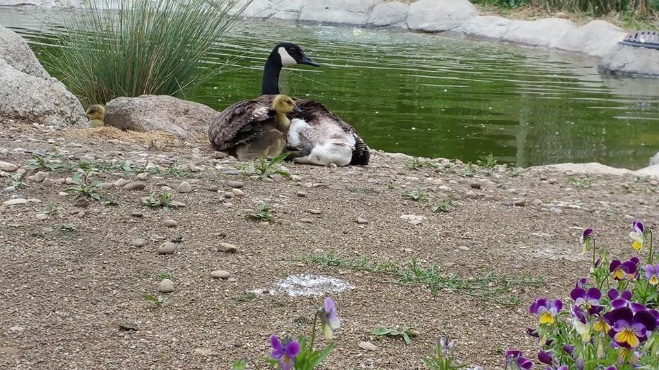 Images Mother Goose Adopts Orphan Goslings After Losing Her Own Eggs In Fire 1 goose adopts goslings