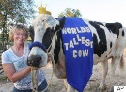 World's Tallest Cow Dies