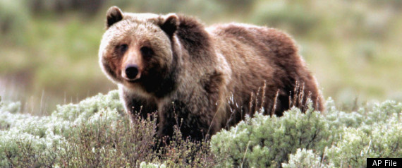 Grizzly Bear Yellowstone Kills Man Mauling