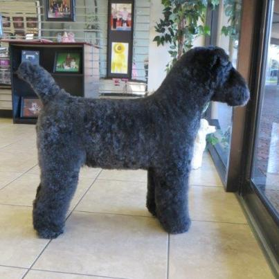 That Crazy Square Haircut For Dogs Is Available In America Too Huffpost