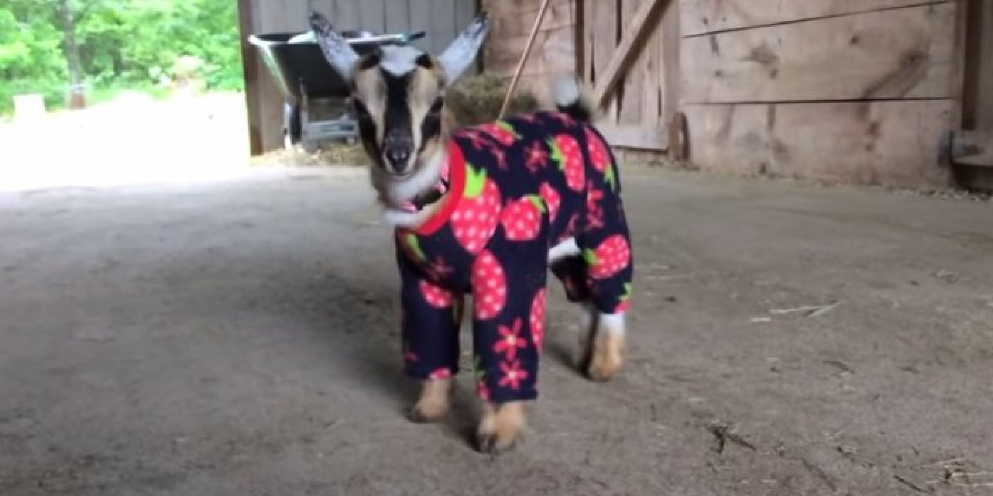 These Goats Dancing In Their Pajamas On A Rainy Day Are