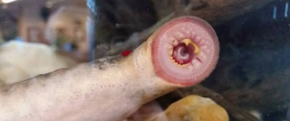 Eel-like fish drop from sky: Eel Fish Falling Alaska