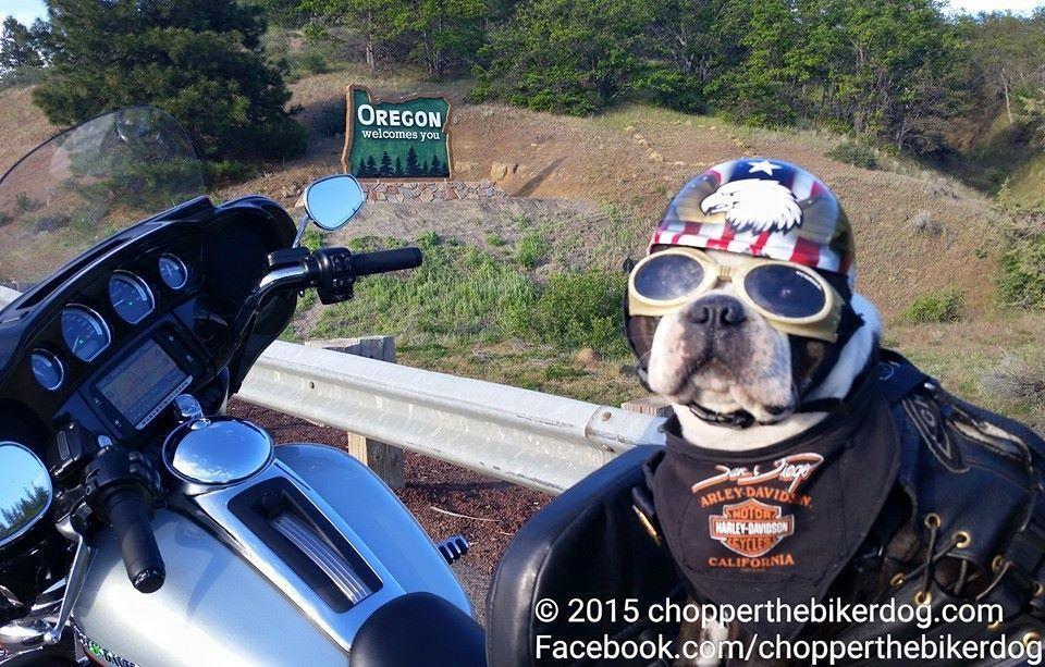 Chopper Biker Dog Loses License n 7535950