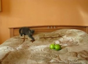 Kitten Scared Of Two Apples