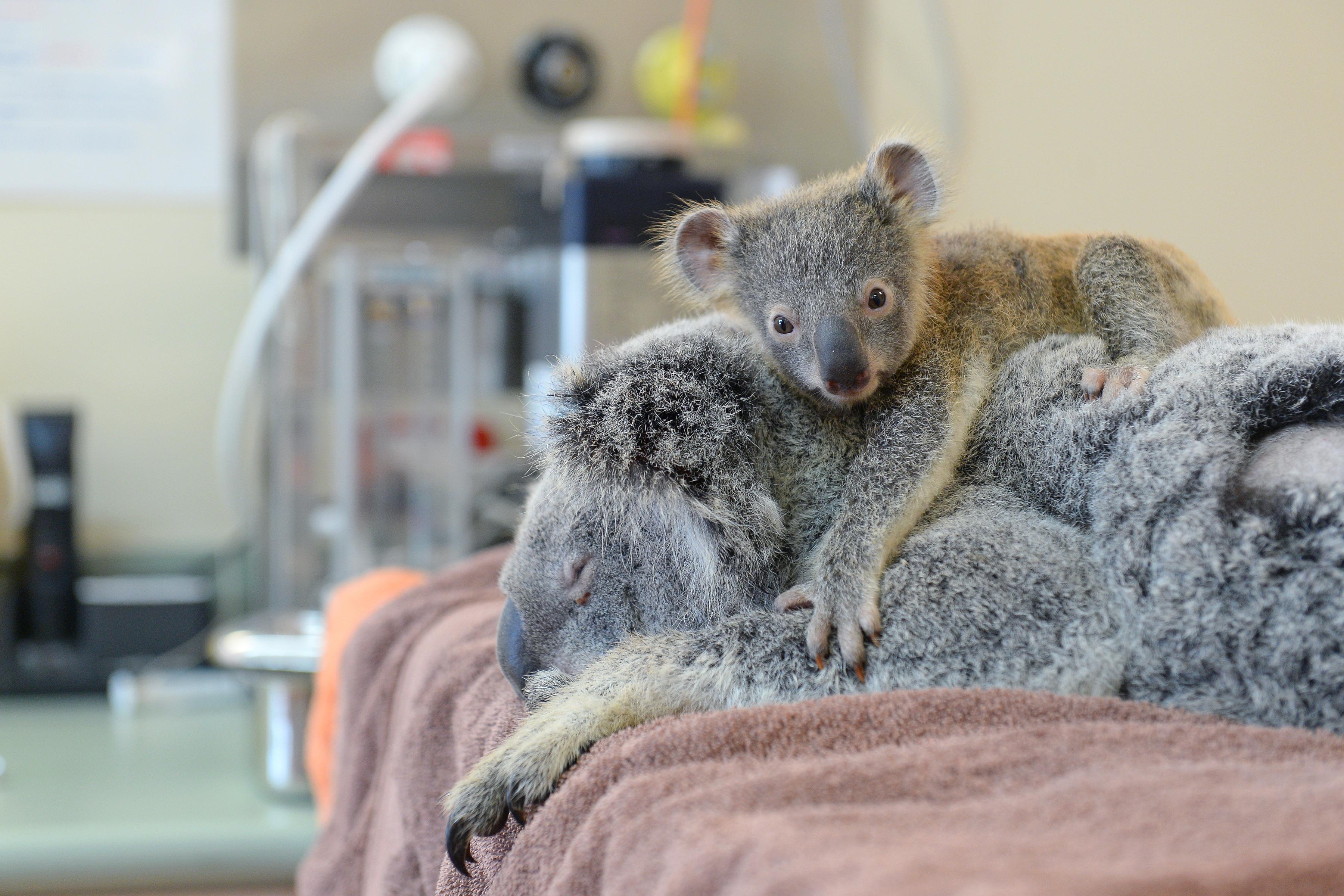 koalaone