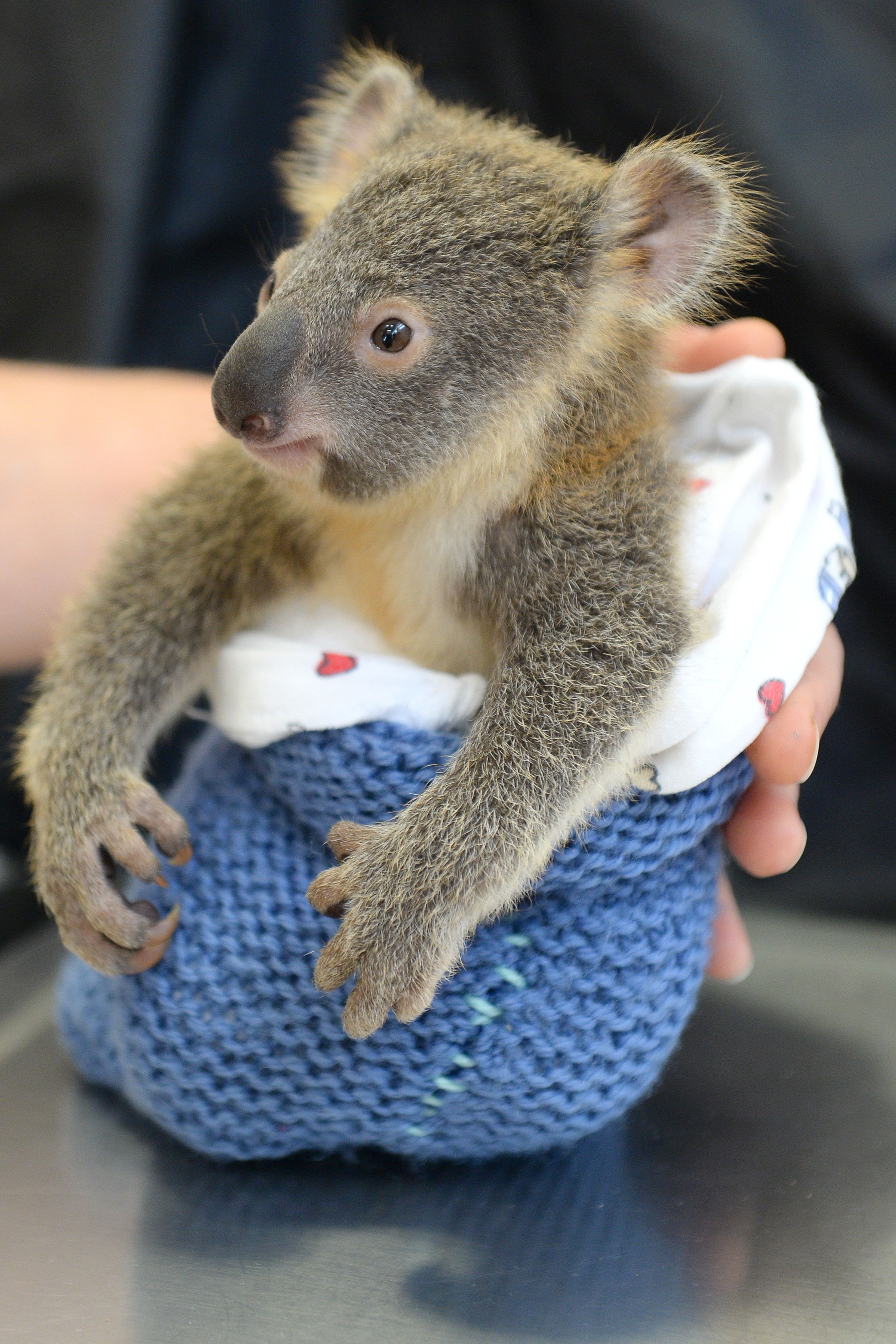 Baby Koala Didn't Leave His Mother's Side In The Hospital ...