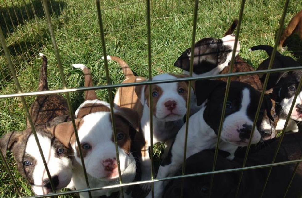 People Lined Up At 4 A M  To Adopt These Adorable Pit Bull Puppies