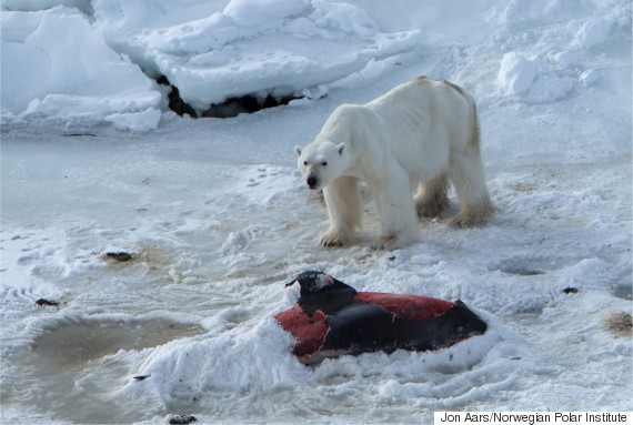 polar bear eat dolphin