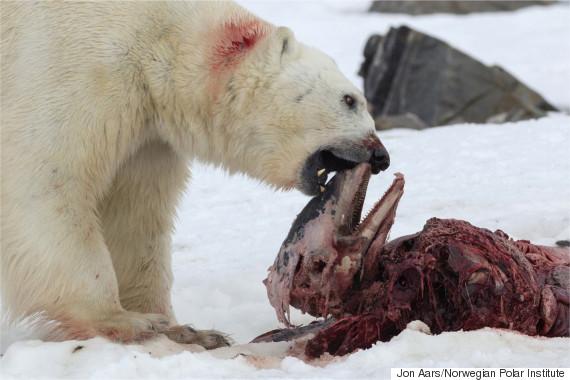 polar bear eat dolphin