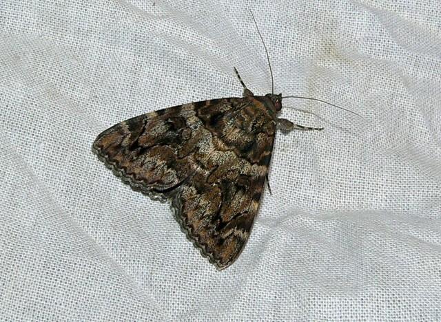 Pour lutter contre les mites londres pousse ses papillons de nuit s 39 accoupler entre m les - Que faire contre les mites ...