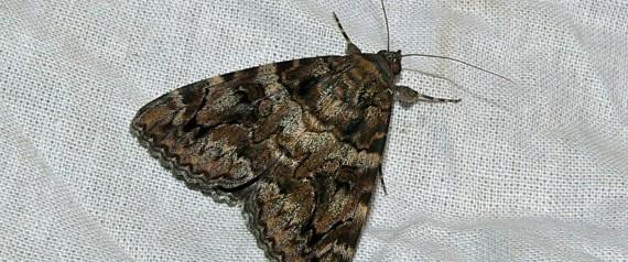 pour lutter contre les mites londres pousse ses papillons de nuit s 39 accoupler entre m les. Black Bedroom Furniture Sets. Home Design Ideas