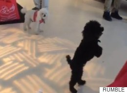 This Pooch Works It Because Life Is Her Catwalk