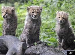 The Week's Best In Animals -- Cheetah Cubs, Lemurs, And Orangutans