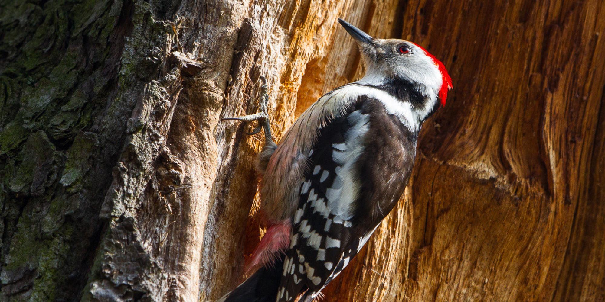 Woodpecker Deutsch