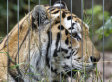 Tom Sellner, Owner Of Cricket Hollow Zoo, Attacked By Tiger During Feeding
