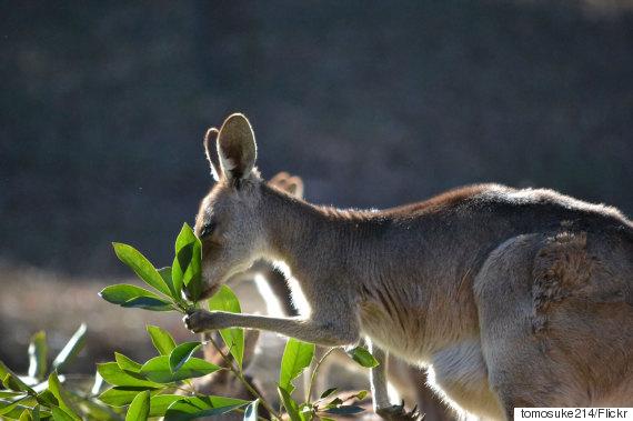 kangaroo left handed