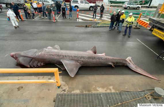 basking shark 2