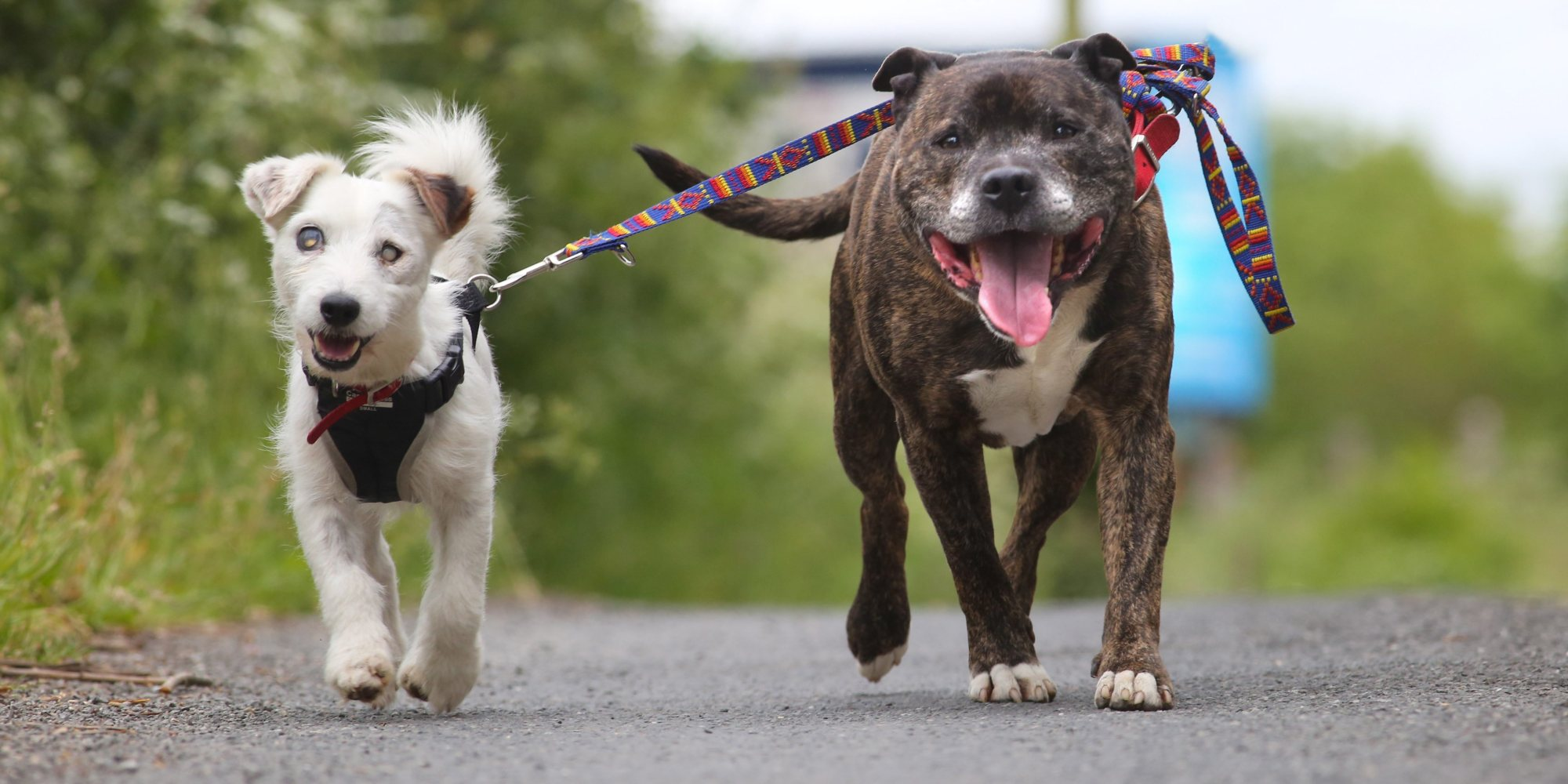 Blind Rescue Pooch And Guide Dog Bff Are Inseparable