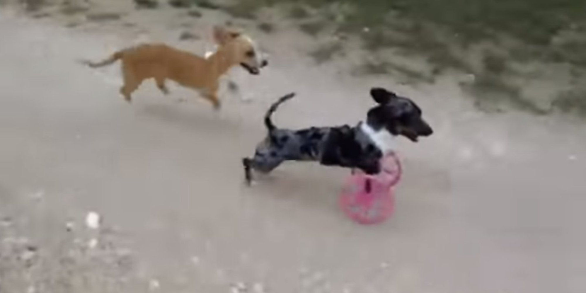 Two-Legged Weiner Dog Is Now Rolling In Style, Thanks To ...