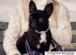 Lady Gaga's French Bulldog Stars In Coach's New Campaign