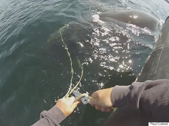 whale rescue powell river