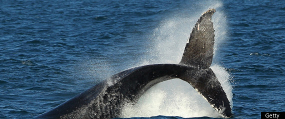ICELAND WHALING