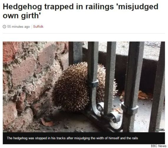 bbc news suffolk hedgehog misjudged his own girth