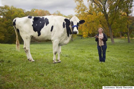 blosom tallest cow