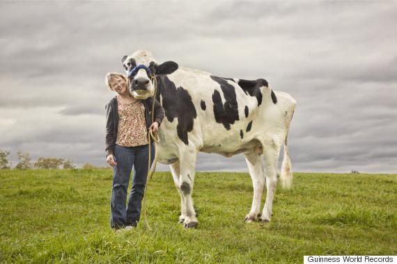 blosom 2 cow