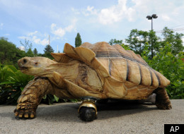 No Leg Is No Problem For Tortoise With Wheel Prosthetic