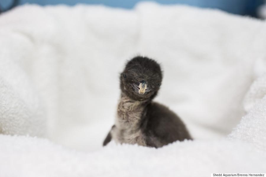 penguin solo