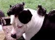 Pit Bull Love Love LOVES Turkey Chick And Her Wee Pals