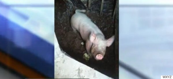 Police Rescue Giant Pig From Filthy Detroit Basement