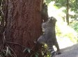 Raccoon Mom Teaches Baby How To Climb A Tree