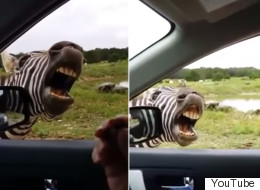 Zebra Hilariously Sings For His Food
