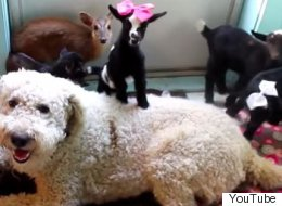 Two Sweet Dogs Babysit A Barnyardful of Critters In The House
