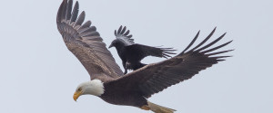 CROW RIDING EAGLE 2