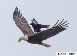 Incredible Photos Of Crow Riding An Eagle... Because Why Wouldn't You Ride An Eagle?