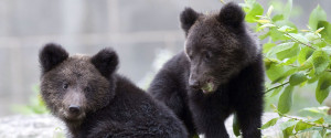 Cubs Bear Two