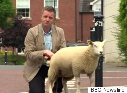 Sheep Urinates All Over BBC News Reporter