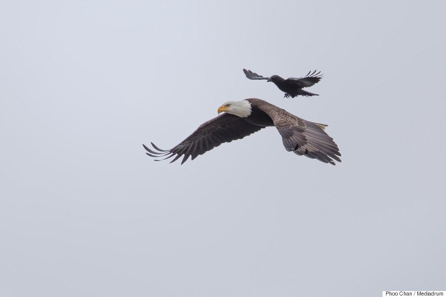 crow eagle