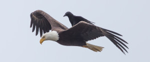 CROW RIDING EAGLE