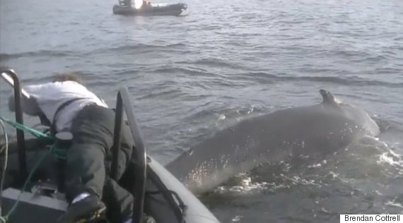 humpback whale freed bc