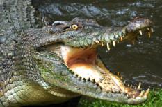 A crocodile | Pic: Getty