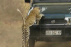 Leopard jumps on truck | Pic: Youtube