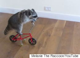 This Raccoon Called Melanie Has Learnt To Ride A Little Bike