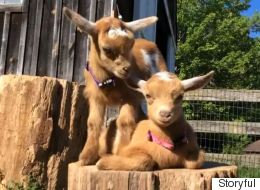 Identical Kid Goats Are Two Very Distinct Characters