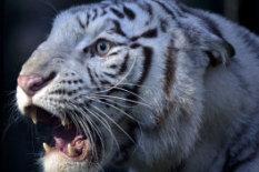 A Bengal tiger | Pic: PA